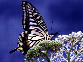 Kupu-kupu nan Cantik
